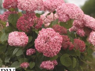 Pink Annabelle Træagtig Hortenisa